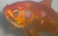 goldfish bacterial infection